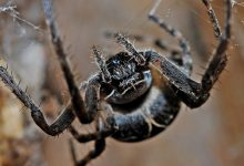 Sting hurts live long a new species of poisonous spiders have been found in the US