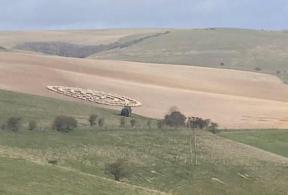 hundreds of sheep