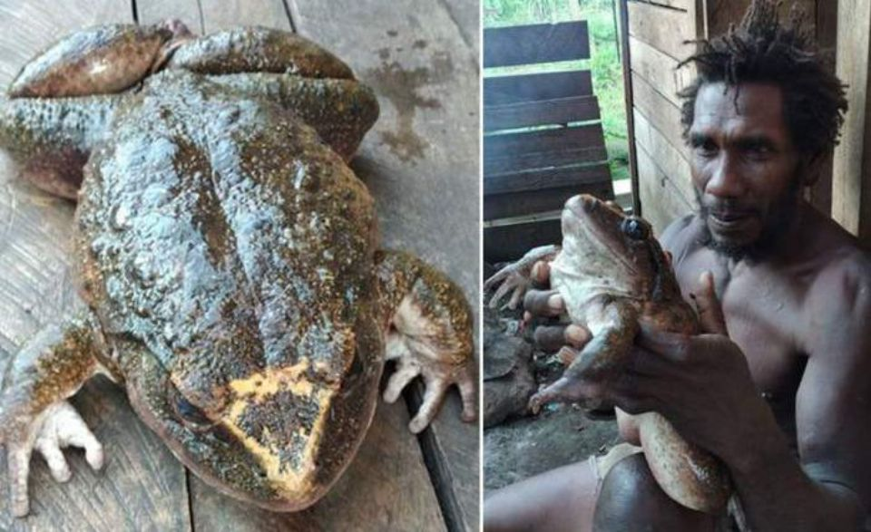 A frog the size of a human child found in the Solomon Islands