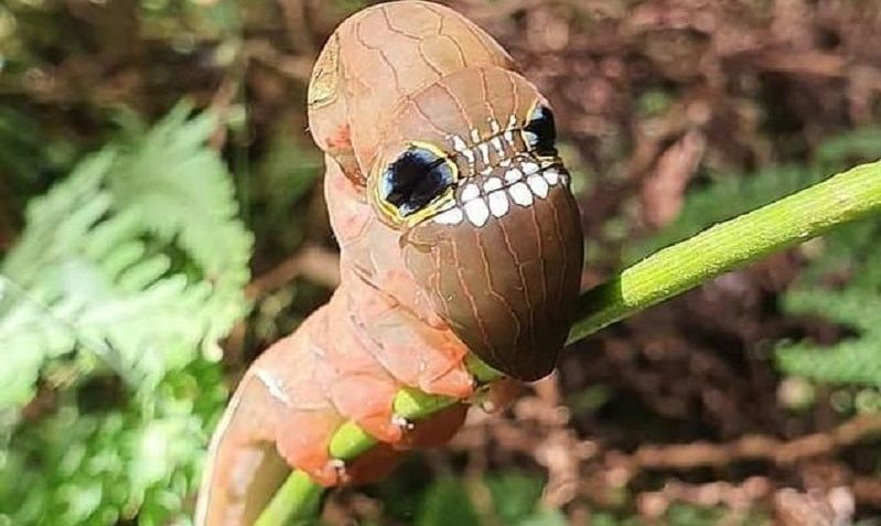 A rare species of caterpillar with an unusual appearance and threatened with extinction