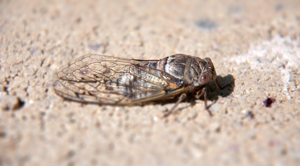 Invasion of cicadas 1
