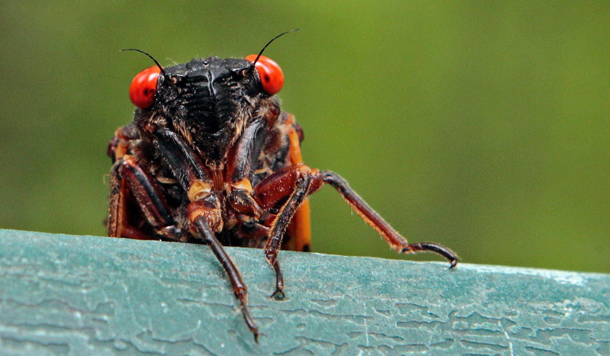 Invasion of cicadas 2