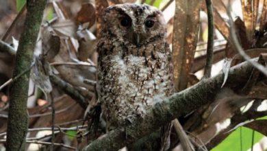 Owl found in Malaysia 1