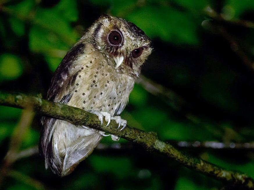 Owl found in Malaysia 2