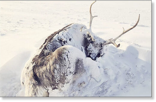 The mass death of reindeer on the Yamal Peninsula in Russia may be related to climate change scientists say
