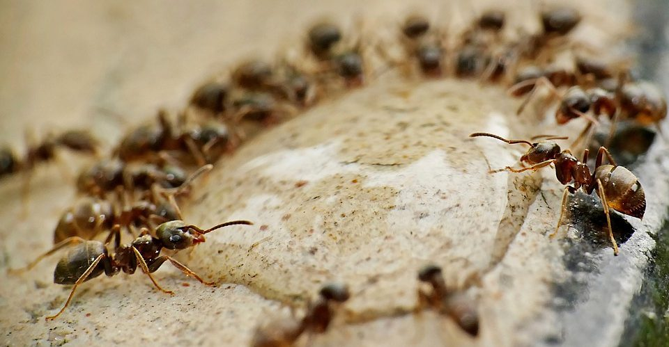 The tape parasite gives ants eternal youth but takes a high price for it 1