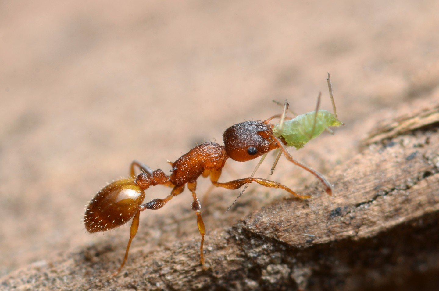 The tape parasite gives ants eternal youth but takes a high price for it 2