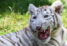 Two tiger cubs with the rarest color were born in the Zaporozhye region