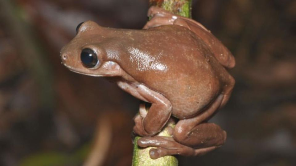 Chocolate frog found in swamps of New Guinea
