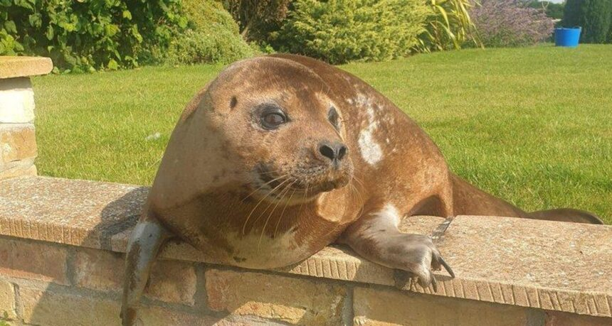 British pensioner finds a seal in her garden
