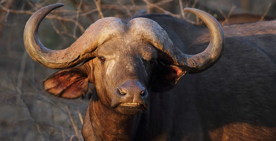 Drunken buffaloes uncover illegal alcohol cache in India