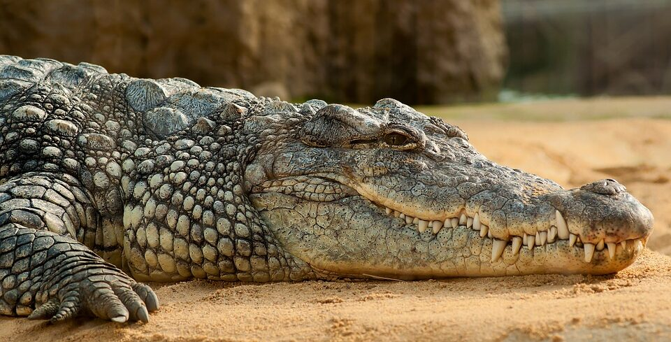 In Florida a man stole a crocodile to fight with him