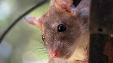 In London park a woman was attacked by hundreds of rats