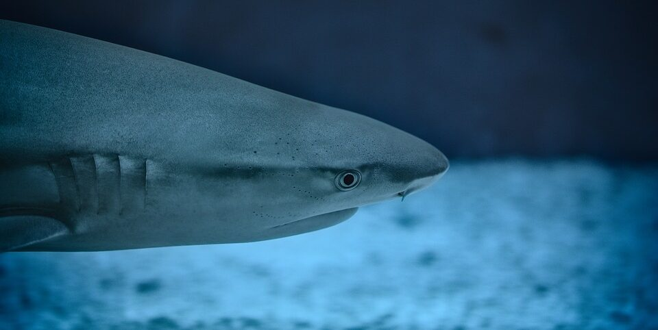 Sharks may disappear in the Caribbean