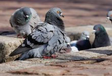 The student was fined for feeding a pigeon on the street