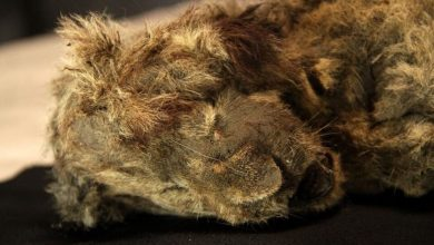 A lion cub was found in Siberia which lived in the ice age