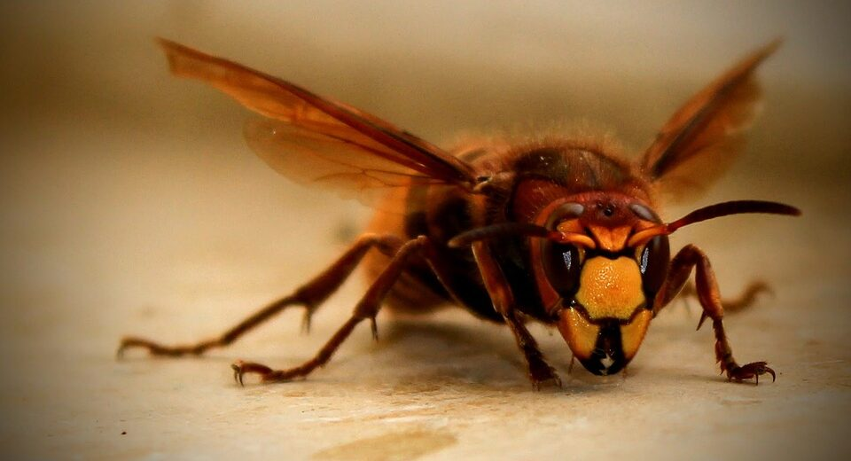 For the first time this year giant killer hornets discovered in US