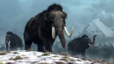 Geneticists are going to resurrect the extinct woolly mammoth