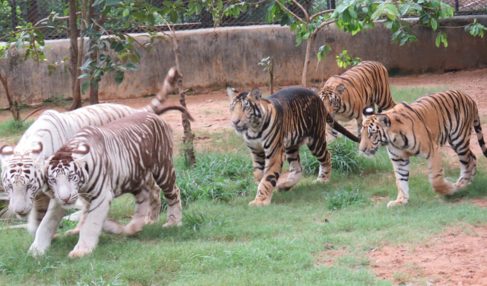 Mystery of the Black Tigers from the Biological Park of India revealed