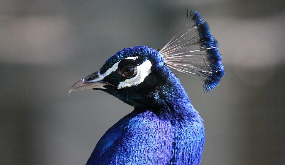 Scientists have told why blue is rare in nature