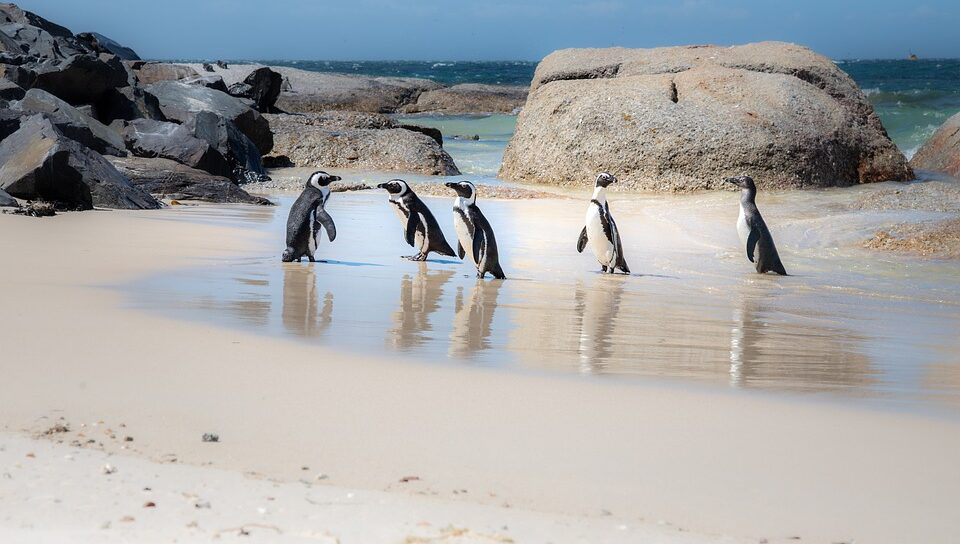 Swarm of bees suspected of killing 63 African penguins
