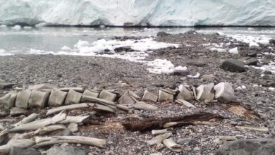 The age of the remains of a whale found near the Vernadsky station has been established